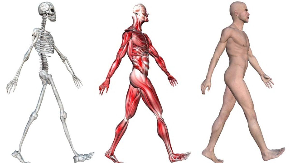 Funções Dos Músculos E Esqueleto Estudo Kids