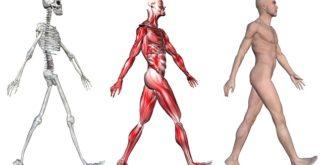 Funções dos músculos e esqueleto