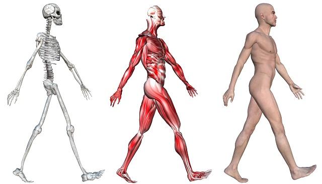 Esqueleto, músculos e corpo humano