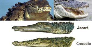 Jacarés e crocodilos – Qual a diferença?