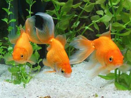 Peixes caracter sticas respira o e alimenta o for Productos para estanques de peces