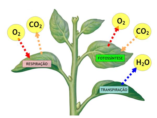 Respiração E Transpiração Dos Vegetais Estudo Kids