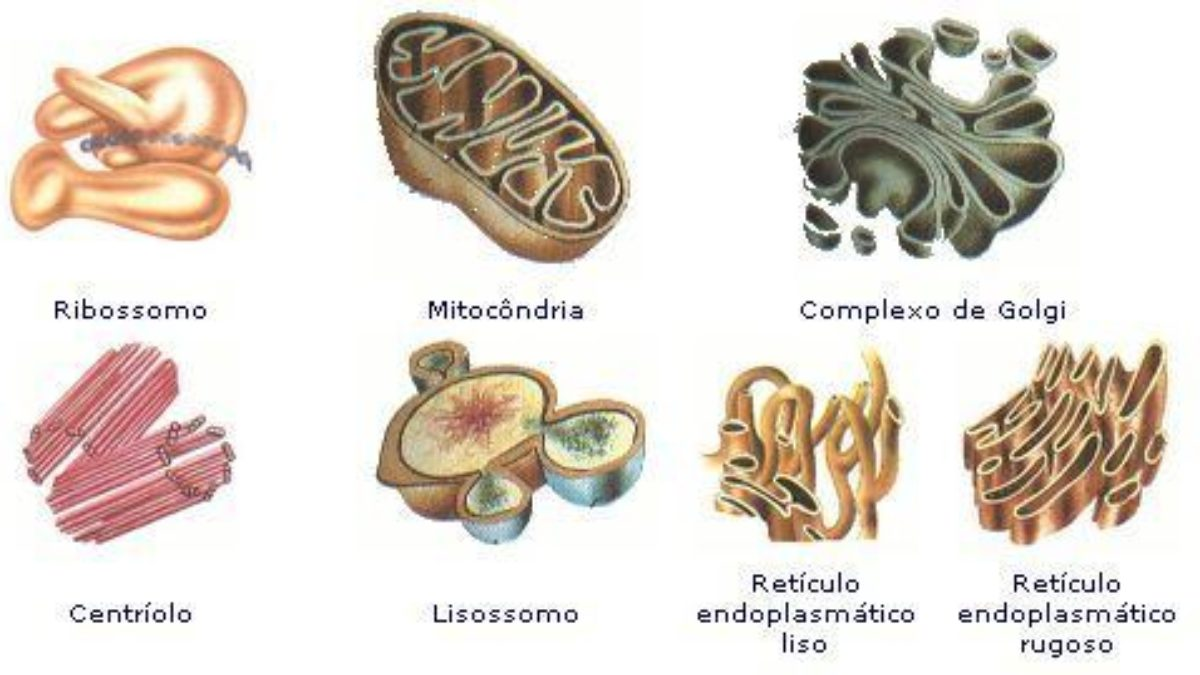 Organelas Celulares Definição Importância E Principais