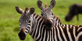 Porque a zebra tem listras?