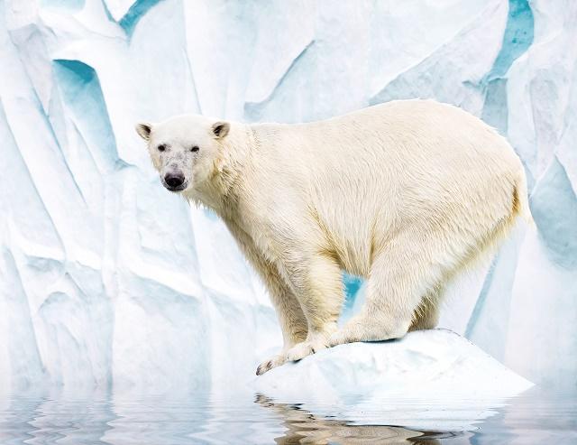 Urso em cima do gelo