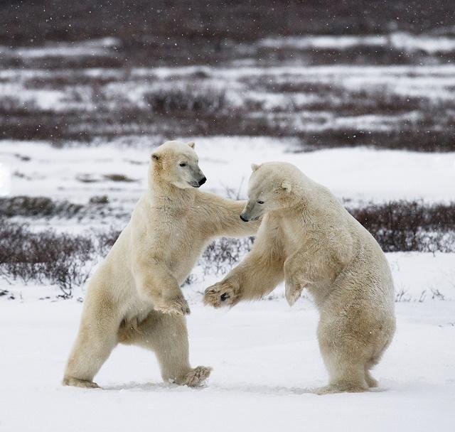 Dois ursos polares brigando