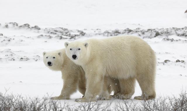 Casal de ursos polares
