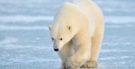 Urso polar: características, habitat e fotos