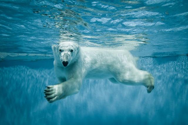 Urso polar nadando