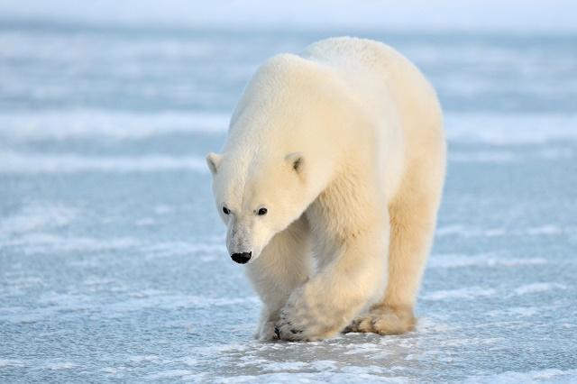 Urso andando sobre gelo