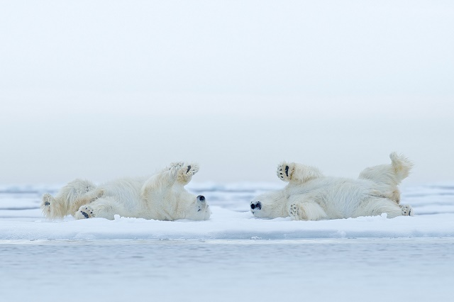 Ursos polares rolando na neve