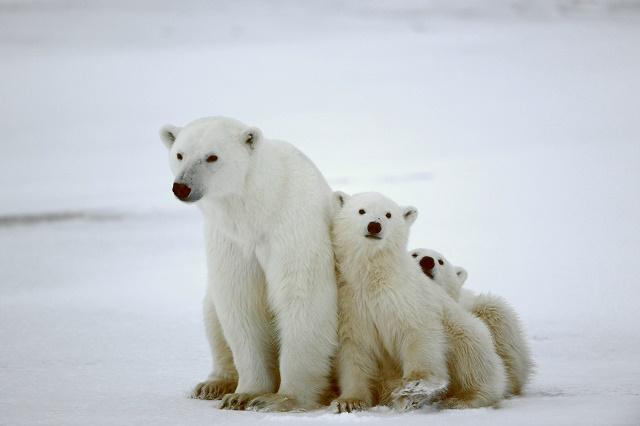 Mãe ursa com dois filhotes