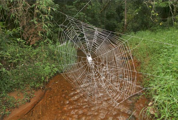 Conheça a aranha que faz a maior e mais forte teia do mundo