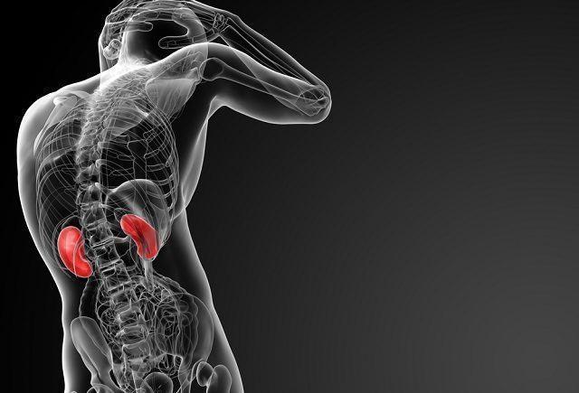 Aprenda sobre as funções e características dos rins