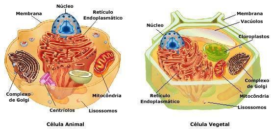 Compreendendo as células animais e vegetais