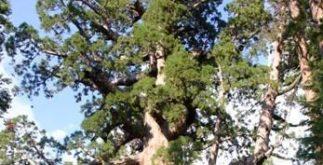 Conheça a maior árvore de todo o PlanetaTerra