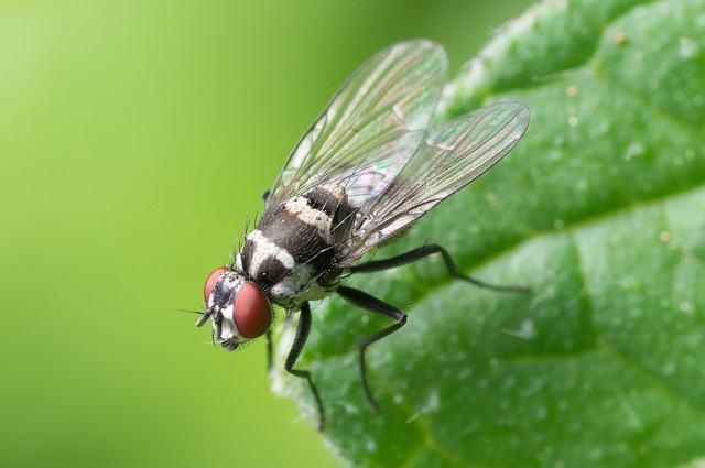 conheca-os-animais-considerados-os-mais-nojentos-do-planeta mosca