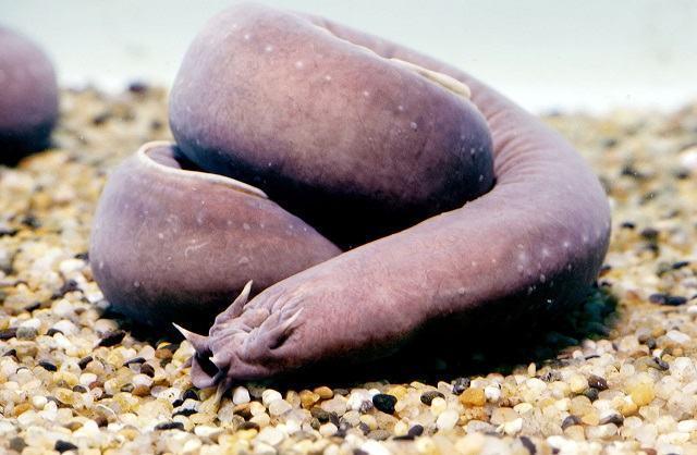 conheca-os-animais-considerados-os-mais-nojentos-do-planeta peixe bruxa