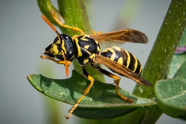 conheca-os-animais-considerados-os-mais-nojentos-do-planeta vespa