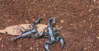Vida e características dos escorpiões peçonhentos