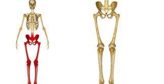 Corpo humano: conheça os ossos dos membros superiores e inferiores