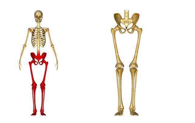 corpo-humano-conheca-os-ossos-dos-membros-superiores-e-inferiores