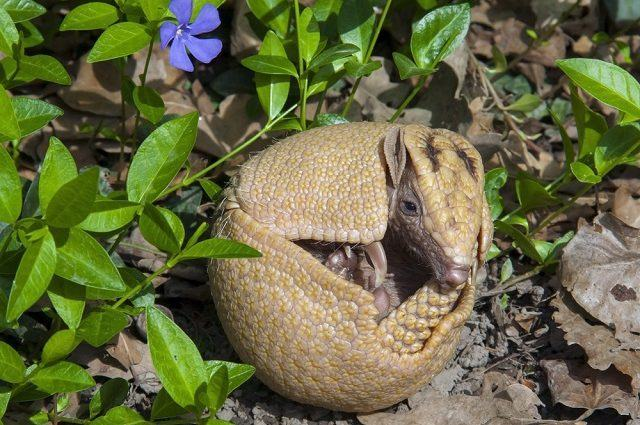 Tatu-bola, espécie ameaçada da fauna brasileira