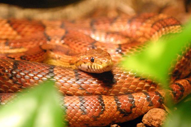 Algumas cobras ficam com nuances rosadas