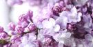Quais são os tons da cor lilás