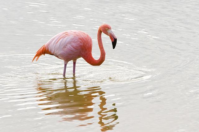 Flamingos têm as penas em vários tons da cor rosa