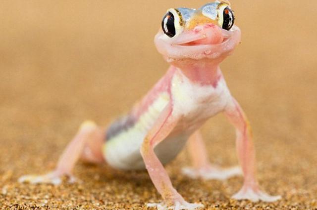 Lagartixa-de-areia-da-namíbia vive no deserto e é rosinha