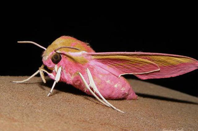 Mariposa Elefante têm pelos rosados