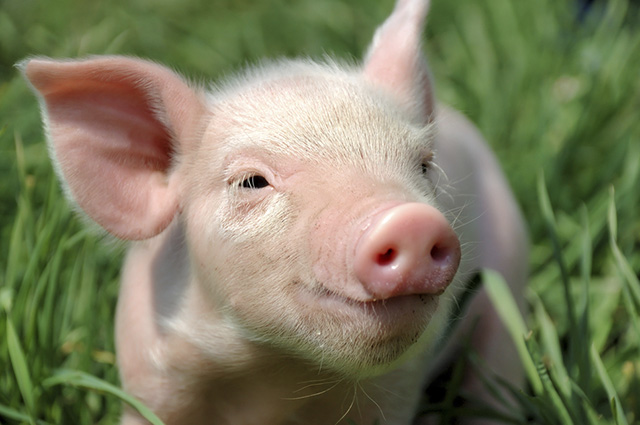 Porquinhos têm a pele com tons rosados, principalmente quando filhotes
