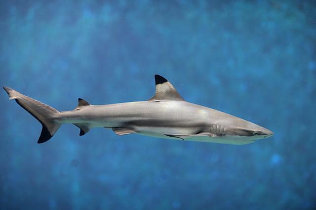 O tubarão cabeça-chata foi uma das espécies mais atingidas com as construções industriais