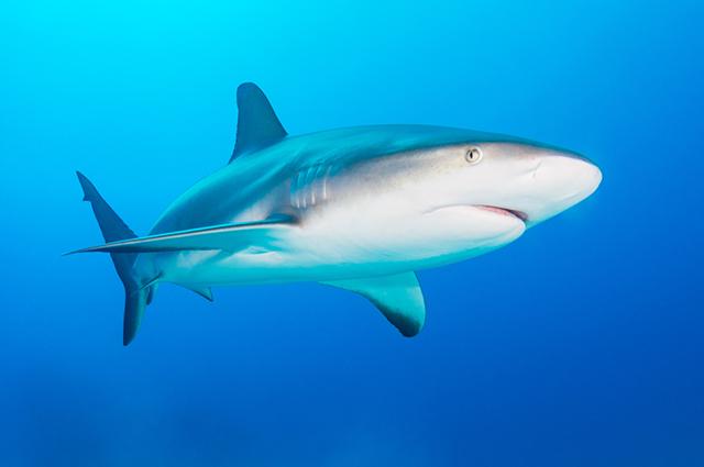 O tubarão tigre é agressivo e pode chegar a 4 metros de comprimento