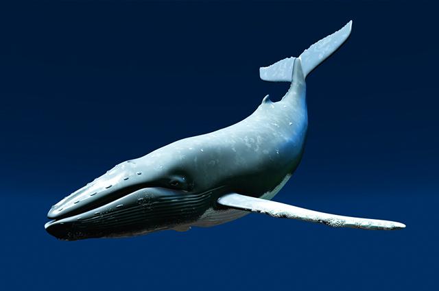 Baleia Comum