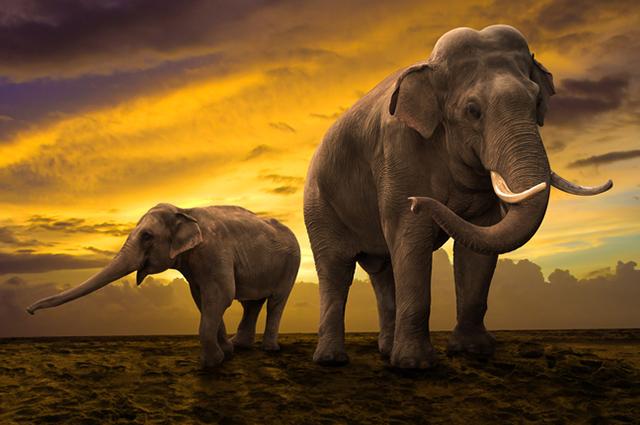 Dupla de elefantes
