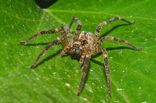 Aranha em folha