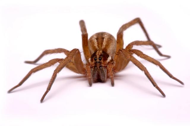 Aranha de jardim