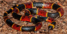 Cobra coral: habitat, alimentação e características