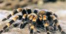 Aranha tarântula: veneno, características e fotos