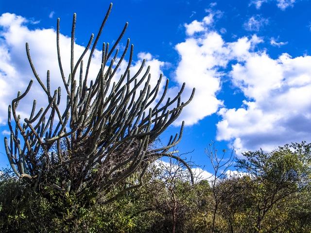 Plantas da Caatinga