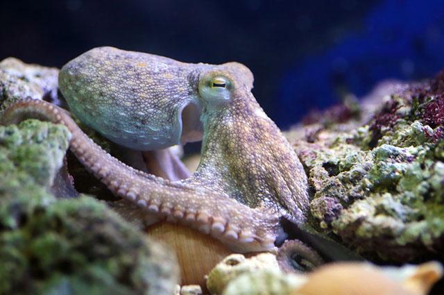 Polvo comum descansando em um recife