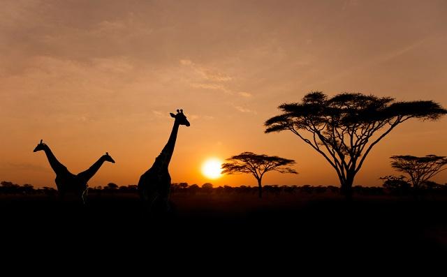 Sol com silhuetas de girafas