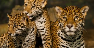 Onça: características, habitat e importância