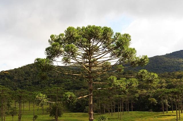 Árvore araucária no Brasil