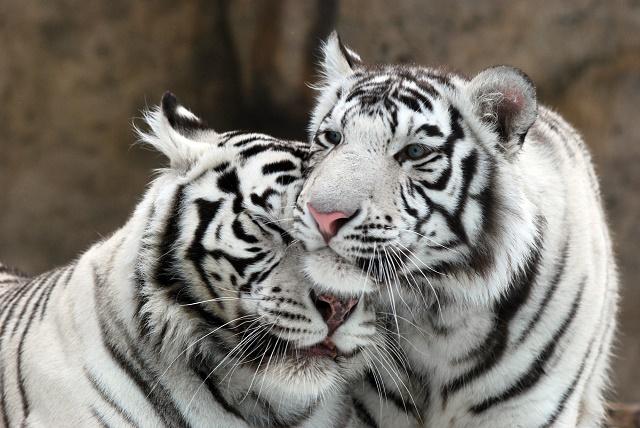 Dois tigres de Bengala albinos