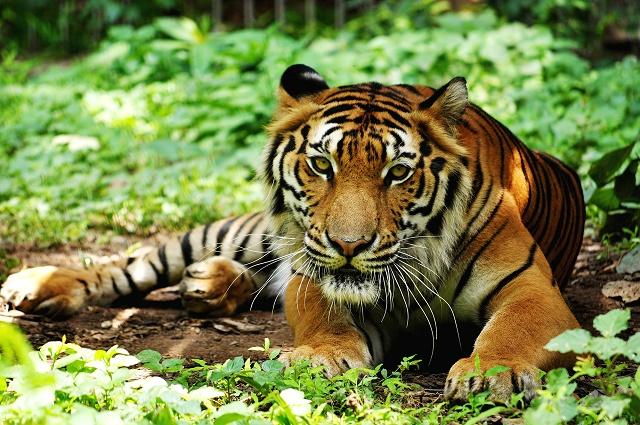 Tigre da Indochina na mata