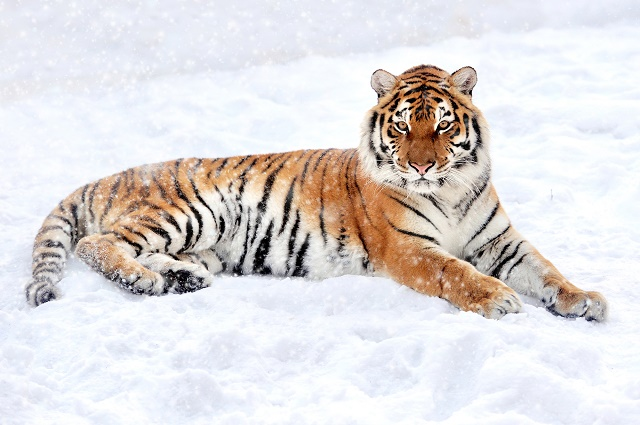 Tigre siberiano na neve
