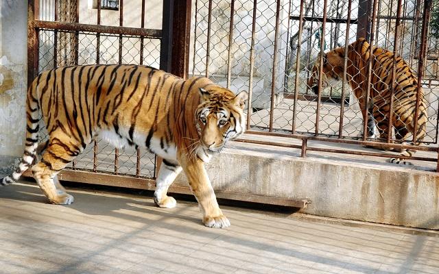 Tigres do sul da China em gaiolas